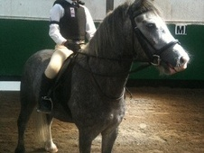 All Rounder horse - 6 yrs 12.2 hh Iron Grey - Surrey