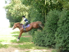 15. 3hh 12yr Old Chestnut Reg Welsh Section D Mare