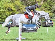 15. 3hh Gorgeous Irish Grey Gelding