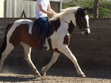 Gorgeous partbred andalusian