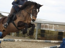 All Rounder horse - 14 yrs 14.3 hh Chocolate Dun - Bedfordshire