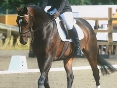 Stunning 15.2 German Warmblood For Sale