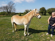 14.1hh graded elite hafinger mare