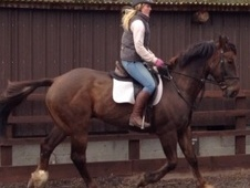 All Rounder horse - 12 yrs 9 mths 16.2 hh Liver Chestnut - Derbys...