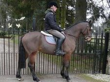 All Rounder horse - 5 yrs 15.0 hh Bay - Lanarkshire