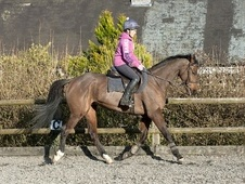 Ex Racehorses horse - 5 yrs 11 mths 16.1 hh Bay - Somerset