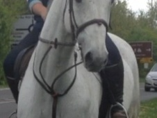 All Rounder horse - 11 yrs 5 mths 17.1 hh Grey - Essex