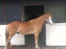 13. 2hh Welsh Part Bred 5yo Section C Chestnut Gelding. (Lovely R...