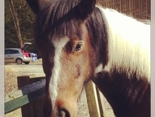 All Rounder horse - 7 yrs 14.1 hh Skewbald - West Sussex