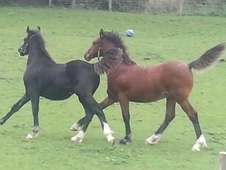 Welsh D Colt And Filly