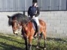 Mountain & Moorland horse - 9 yrs 14.2 hh Bay - South Yorkshire
