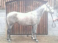 Star 7 Years Old 15. 3h Mare £2500