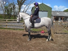 All Rounder horse - 7 yrs 14.1 hh Dapple Grey - North Yorkshire