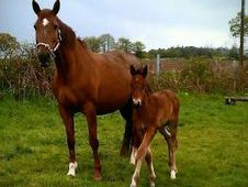 Selle Francais Broodmare With Top Showjumping Bloodlines