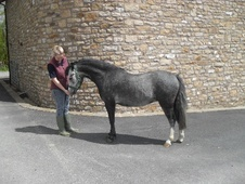 Lead Rein & First Ridden horse - 4 yrs 11.2 hh Steel Grey - North...