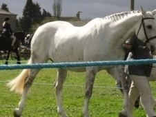 All Rounder horse - 16 yrs 16.2 hh Grey - Wiltshire