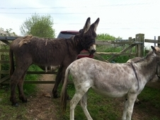 Large donkey to make 14hh +