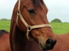 16. 2 Hh Stunning Wb/tb Mare