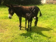 Donkeys horse - 6 mths 10.0 hh Tri-Coloured - Gloucestershire