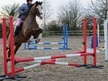Sports Horses horse - 8 yrs 2 mths 16.2 hh Bay - Suffolk