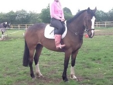 All Rounder horse - 6 yrs 6 mths 16.1 hh Bay - South Humberside