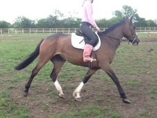 All Rounder horse - 6 yrs 6 mths 16.1 hh Bay - South Yorkshire