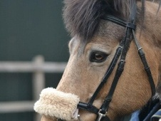 All Rounder horse - 14 yrs 14.1 hh Dun - Avon