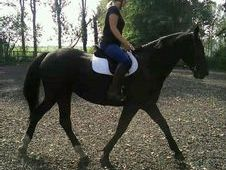 Beautiful Dark Bay Mare Very Willing And Easy To Do.