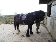 Family horse - 14 yrs 1 mth 14.1 hh Black - Northumberland