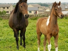 Top Class Quality Reg PBA Skewbald Filly By Graded Stallion