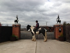 Cobs horse - 5 yrs 15.1 hh Piebald - West Midlands