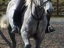 Cobs horse - 8 yrs 13.2 hh Dapple Grey - South Yorkshire