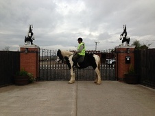 Cobs horse - 8 yrs 16.0 hh Piebald - West Midlands