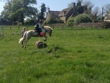 Top Quality, Eye Catching, Dun And White 13. 2 Coloured Gelding, ...