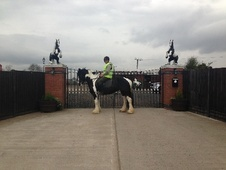 Cobs horse - 9 yrs 15.0 hh Piebald - West Midlands