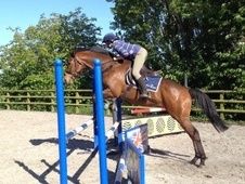 All Rounder horse - 6 yrs 16.2 hh Bay - Somerset