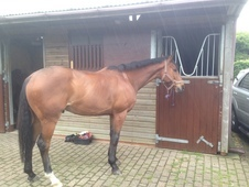 16. 2hh Bright Bay Thoroughbred Gelding, 7 Years Old