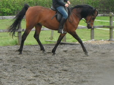 Pure Bred 4 yr old Gelding for sale