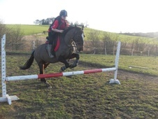 Sports Horses horse - 11 yrs 14.0 hh Dark Bay - South Yorkshire