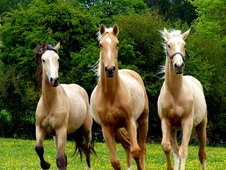 Selection of Quality Dilute Warmbloods