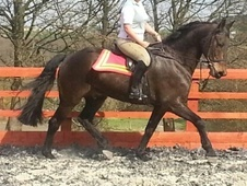 All Rounder horse - 11 yrs 16.3 hh Dark Bay - West Yorkshire