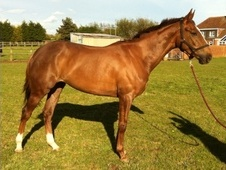 All Rounder horse - 5 yrs 15.3 hh Liver Chestnut - Kent