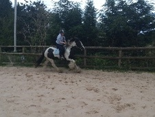 Cobs horse - 5 yrs 14.0 hh Coloured - Cheshire