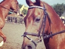 All Rounder horse - 13 yrs 13.1 hh Chestnut - Worcestershire