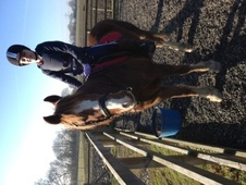 Cobs horse - 12 yrs 14.1 hh Liver Chestnut - South Yorkshire