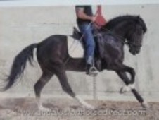 Beautiful Black Gelding For Sale, Height 1. 53m (14. 3h)