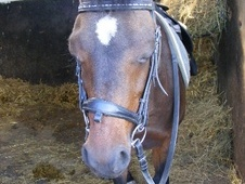 Mountain & Moorland horse - 13 yrs 6 mths 12.0 hh Dark Bay - Linc...