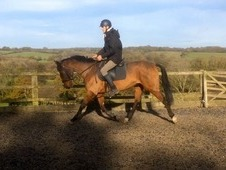 16hh 9yrs Bay Ish Gelding
