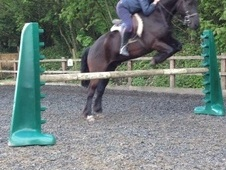 All Rounder horse - 7 yrs 14.3 hh Dark Bay - West Glamorgan