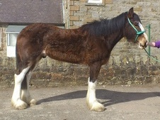 All Rounder horse - 3 yrs 1 mth 17.2 hh Brown - West Lothian